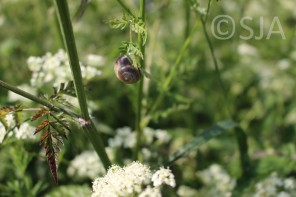 Snail cow parsley